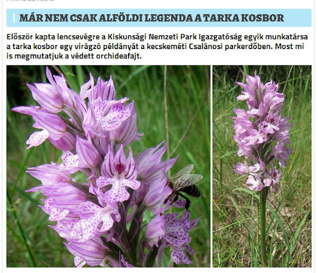 http://www.turistamagazin.hu/mar-nem-csak-alfoldi-legenda-a-tarka-kosbor.html