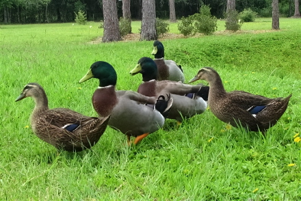 My Duck Collection: Mallard Ducks