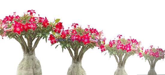 cara menanam bunga adenium, cara membuat bonsai adenium