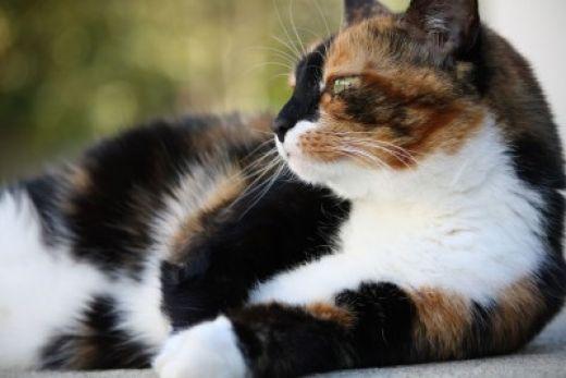 tortoiseshell cat vs calico