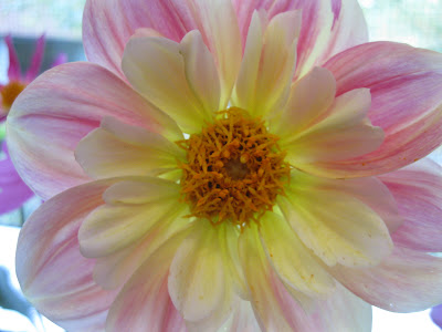Dahlia April Heather