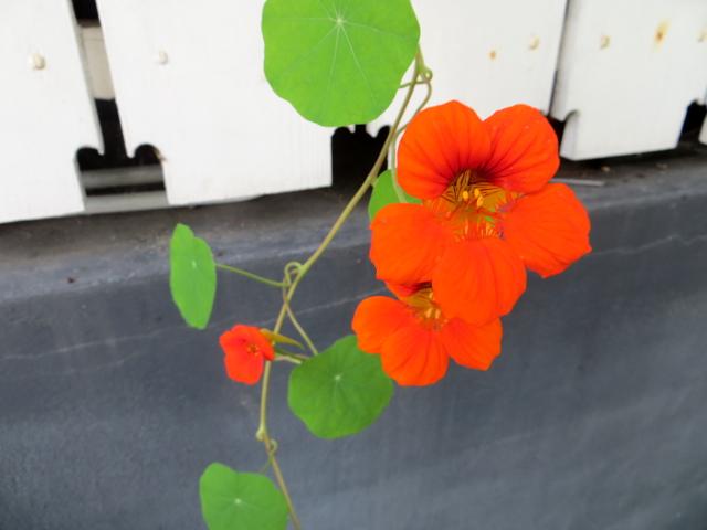 oranssi krassi