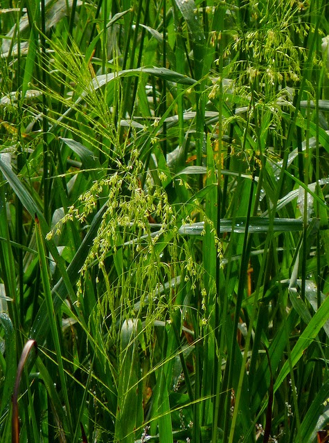 Photo of green wild rice growing in a field