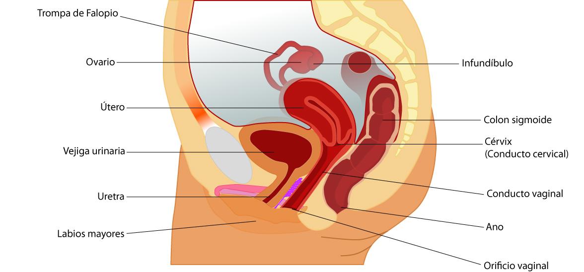 el moderno prometeo: Anatomía básica del aparato reproductor