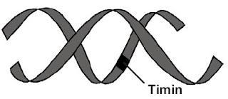 Molekul DNA mengalami mutasi berupa penggantian basa timin dengan adenin pada rantai nukleotida
