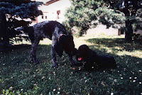 Vicky , mon premier caniche et Ralph, drahthaar, encore petit ;)