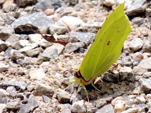 Naturaleza Viva : Mariposa limonera (Gonepteryx cleopatra)