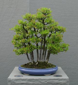 ficus benjamina bonsai pots and trays. Black Bedroom Furniture Sets. Home Design Ideas