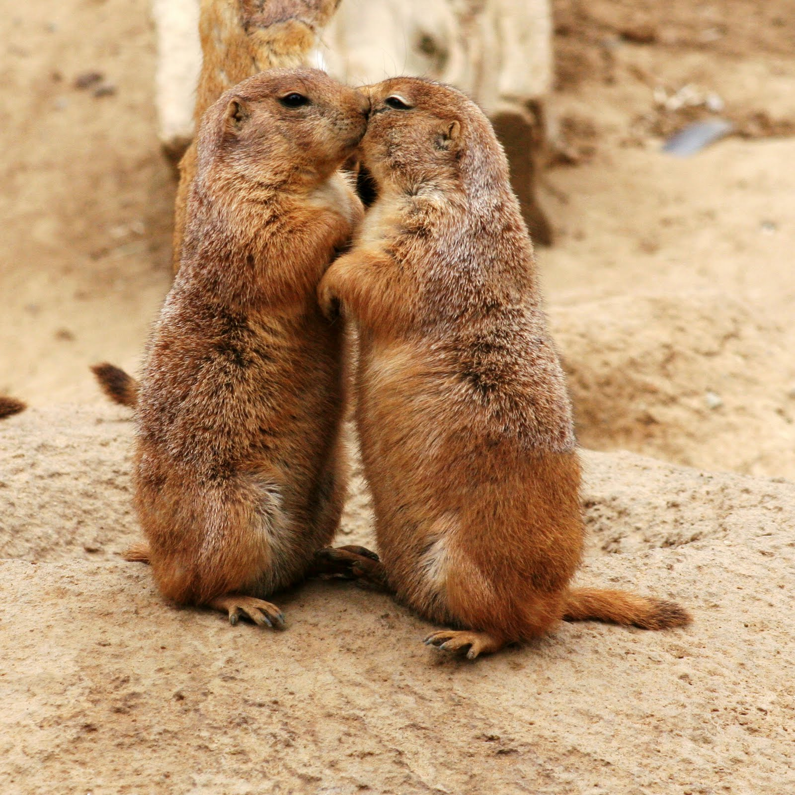 Free Cool Wallpapers: Prairie Dog Pictures