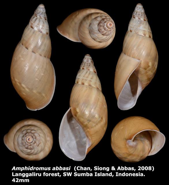 Amphidromus abbasi 42mm