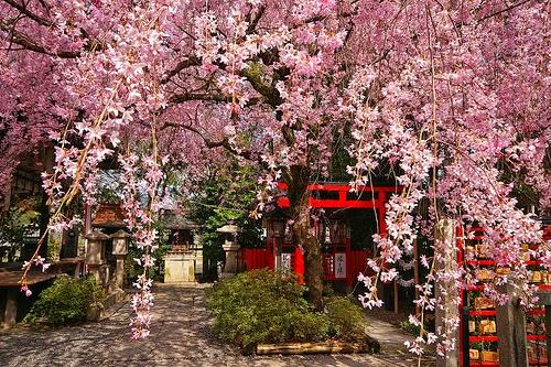 Les cerisiers en fleur ! Le Hanami. Hanami+03