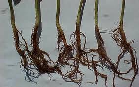 cuidados com plantas de maconha
