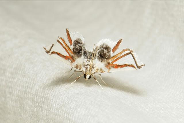 Rama-rama dengan sayap bercorak seperti kaki labah-labah