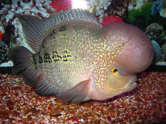 Fish pictures flowerhorn cichlid louhan for Flowerhorn fish for sale