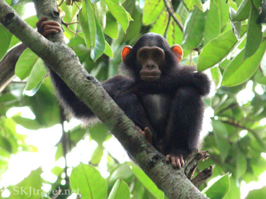 Wild Chimp Budongo National Forest