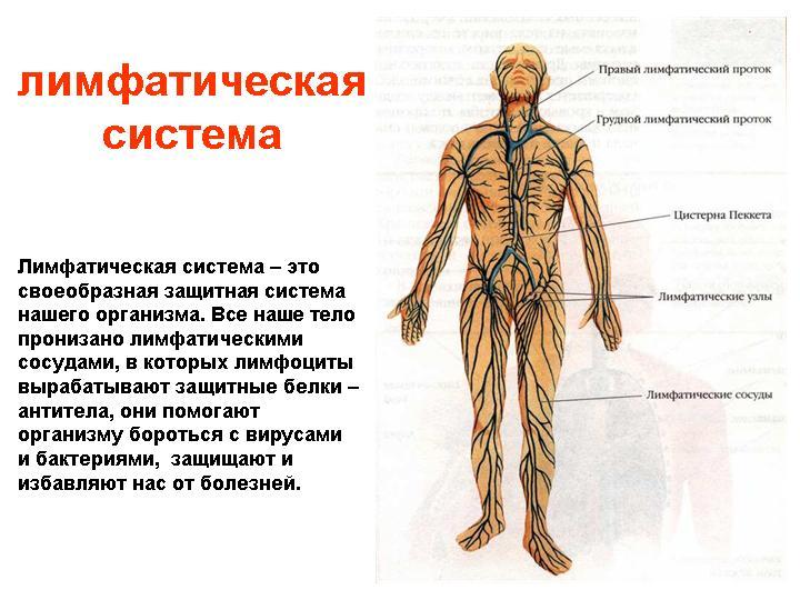 Лимфатическая система .
