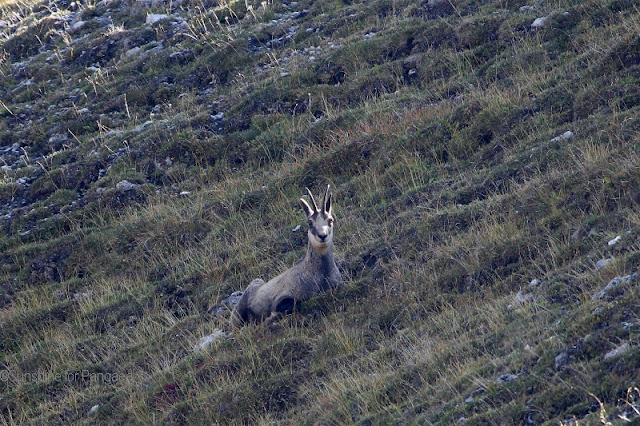 Chamois in the Val Trupchun