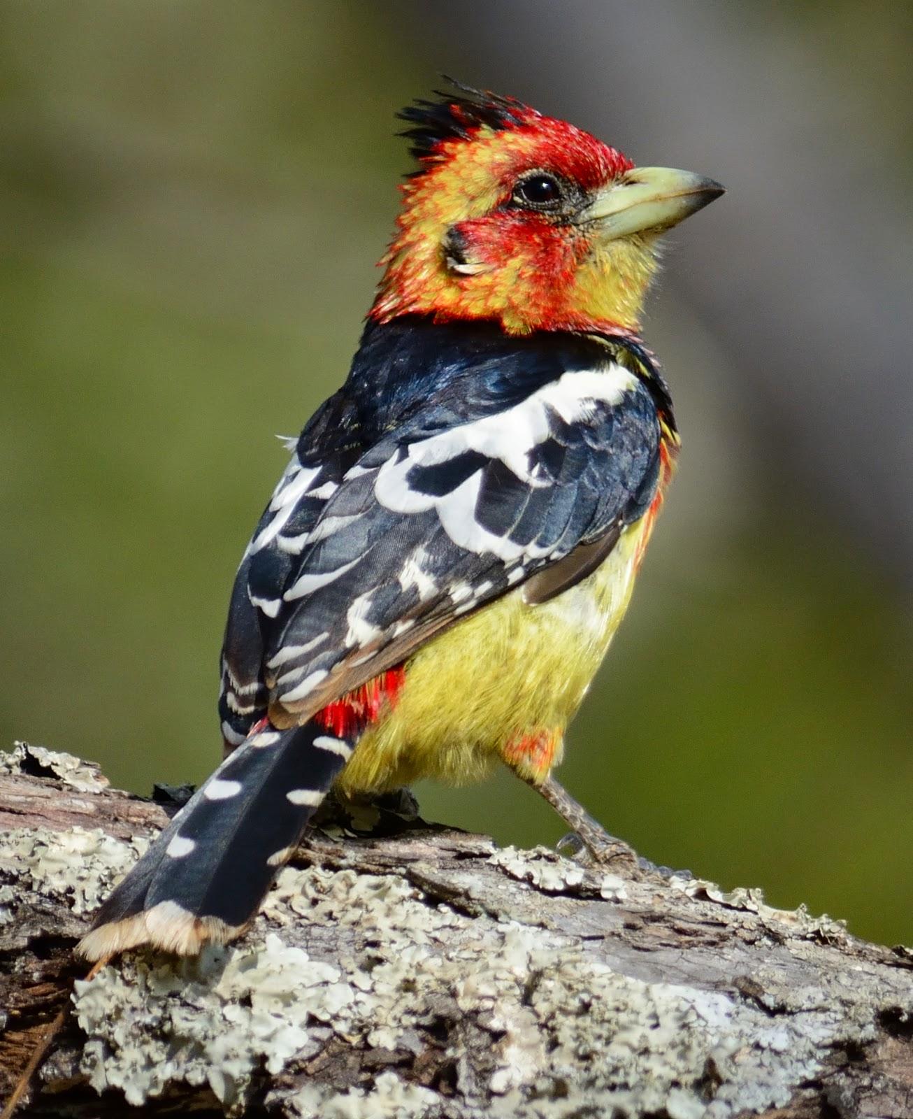 Levaillant's Barbet Crested Barbet