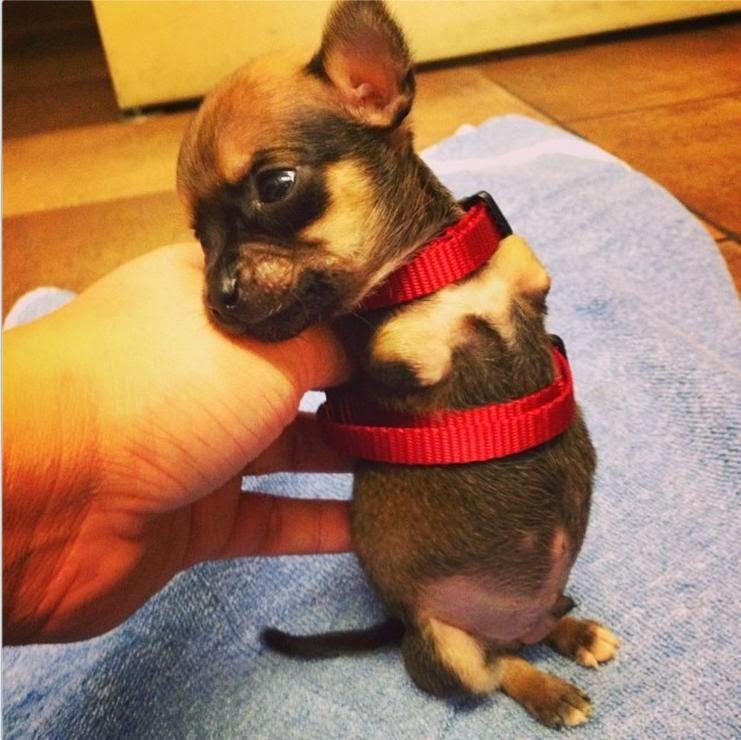 Cachorro nasceu sem as duas patas dianteiras