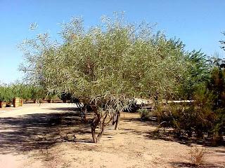 roble del desierto Acacia coriacea