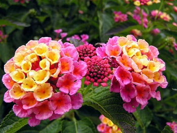 Bunga Paling terindah di Dunia
