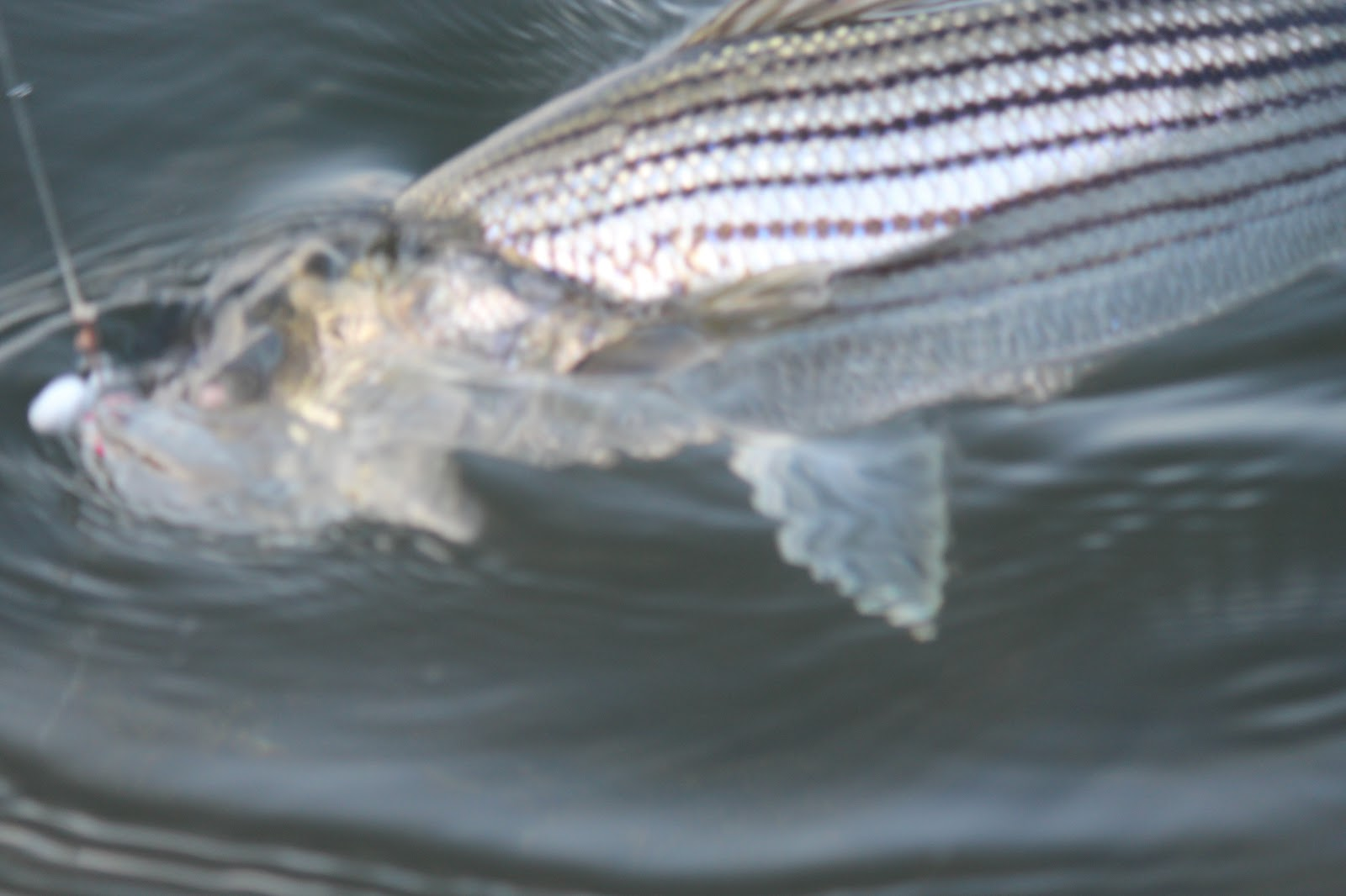 Rhode island striped bass bucktail jigs prime spring lures for Best striper fishing spot in ri