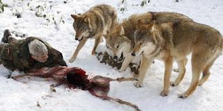 Binatang Buas Serang Ternak Warga Pacitan