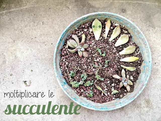 tutorial per moltiplicare le succulente