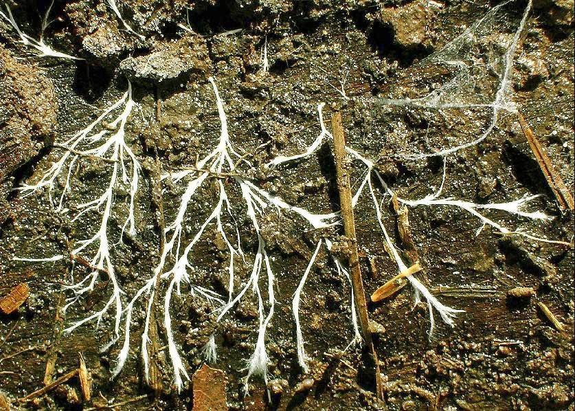 Pilzgeflecht Myzelium im Erdboden