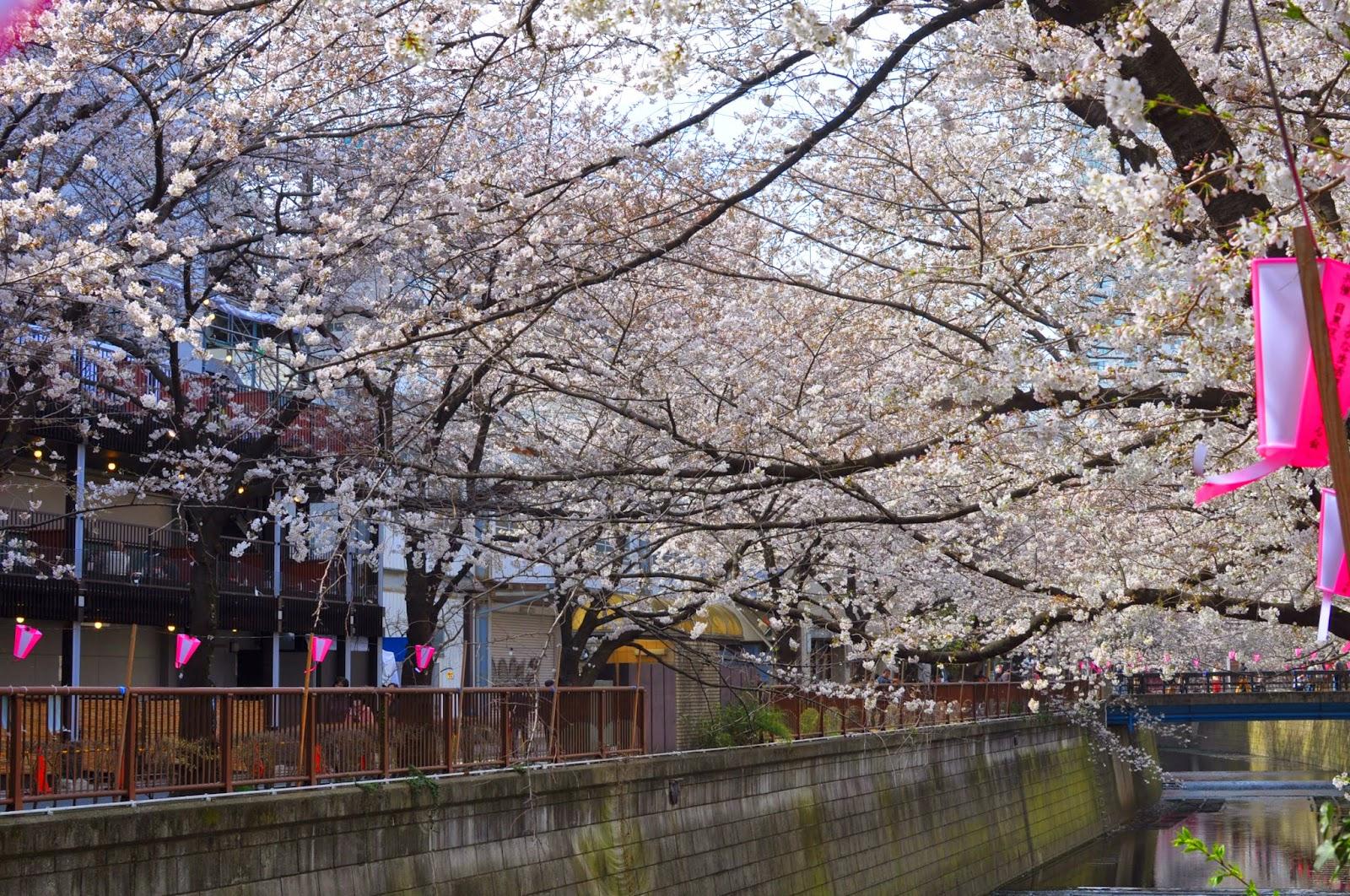 Cherry blossom season hanami tokyo japan