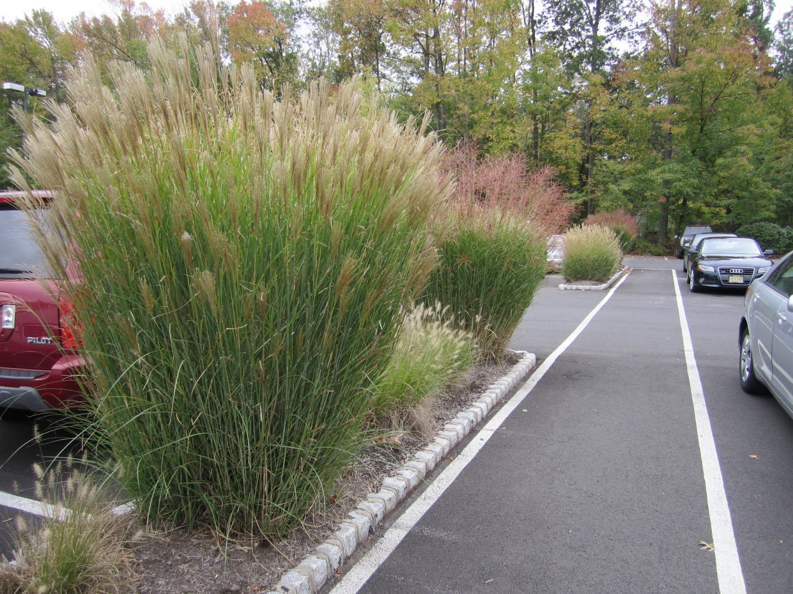 Maiden grass miscanthus sinensis princeton nature notes for Landscaping with zebra grass