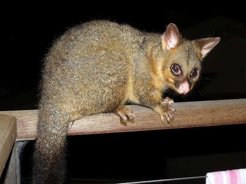 animal a day   common brushtail possum