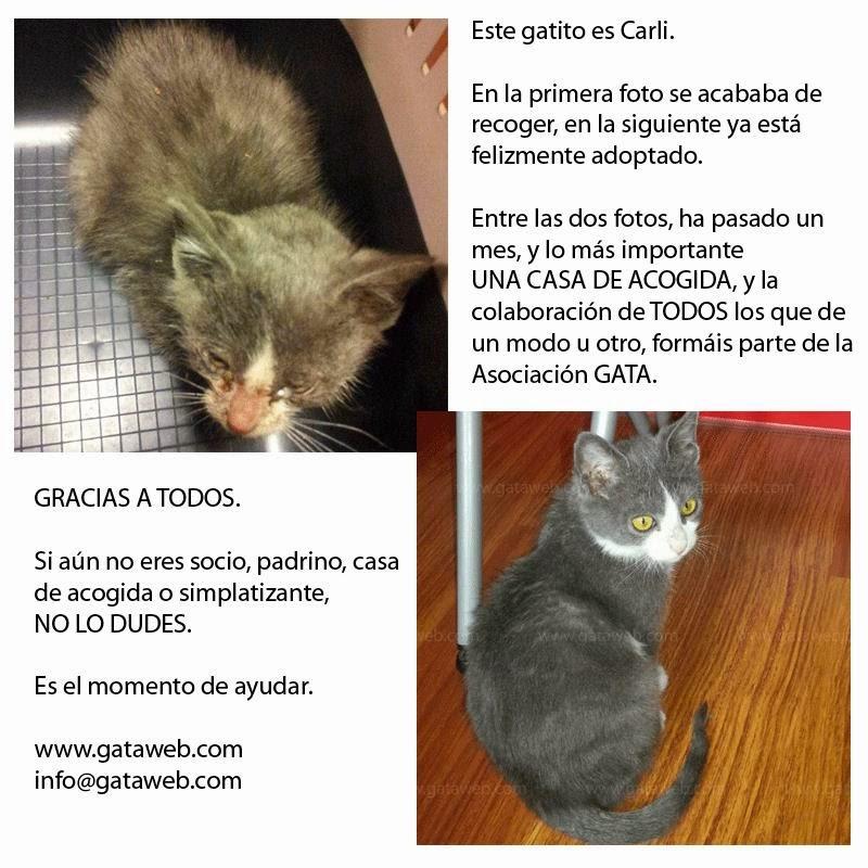 Carli, gato de asociación GATA