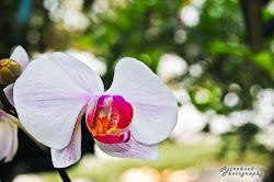 Mum's Orchid