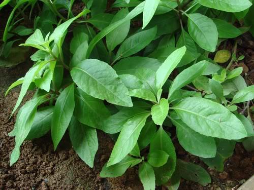 *WINTER SALE!* 2 FOR £25! Gynura procumbens Super Rare Anti-Diabetic plant