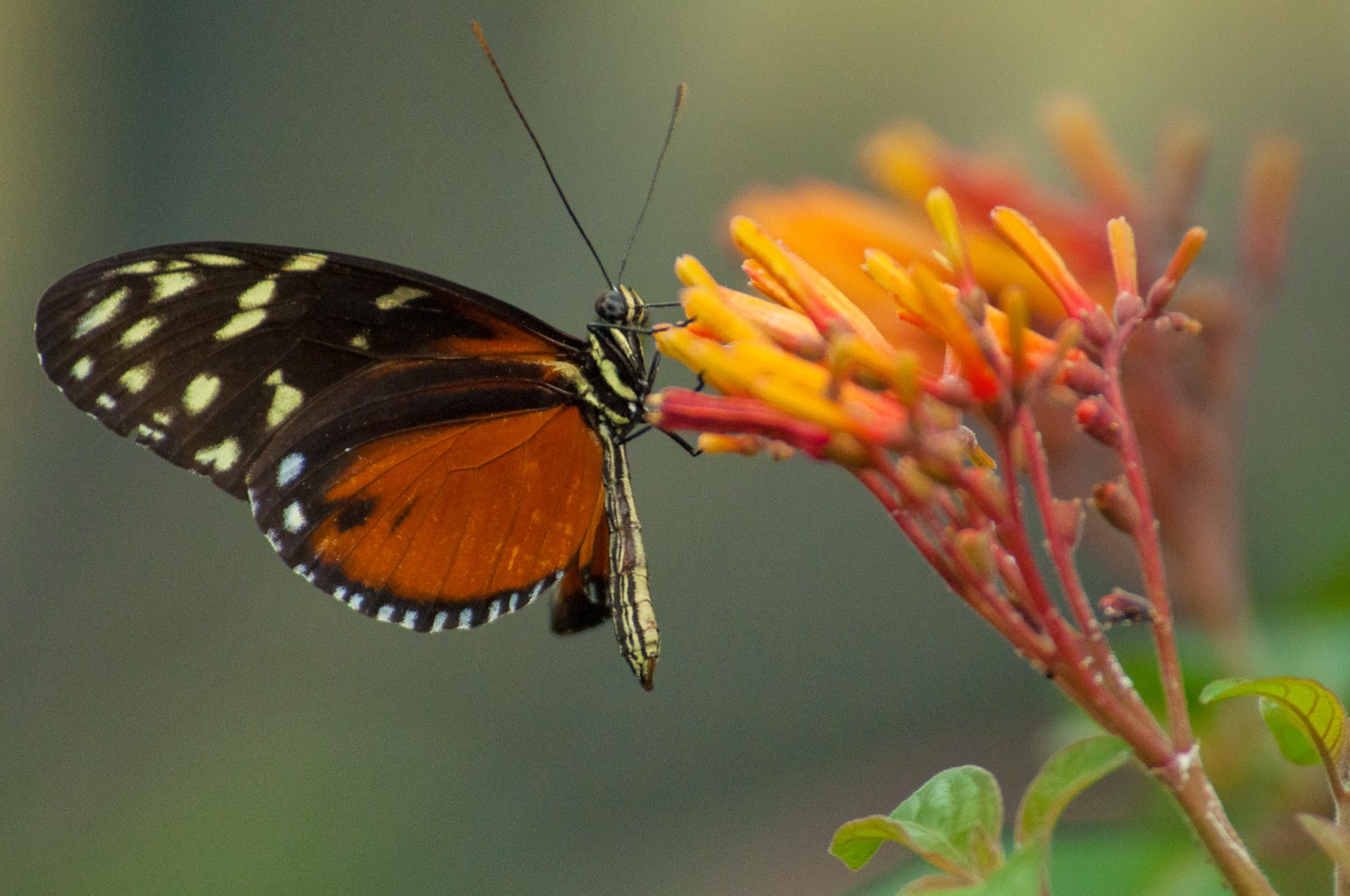 Hecale's Longwing, Texas Discovery Gardens