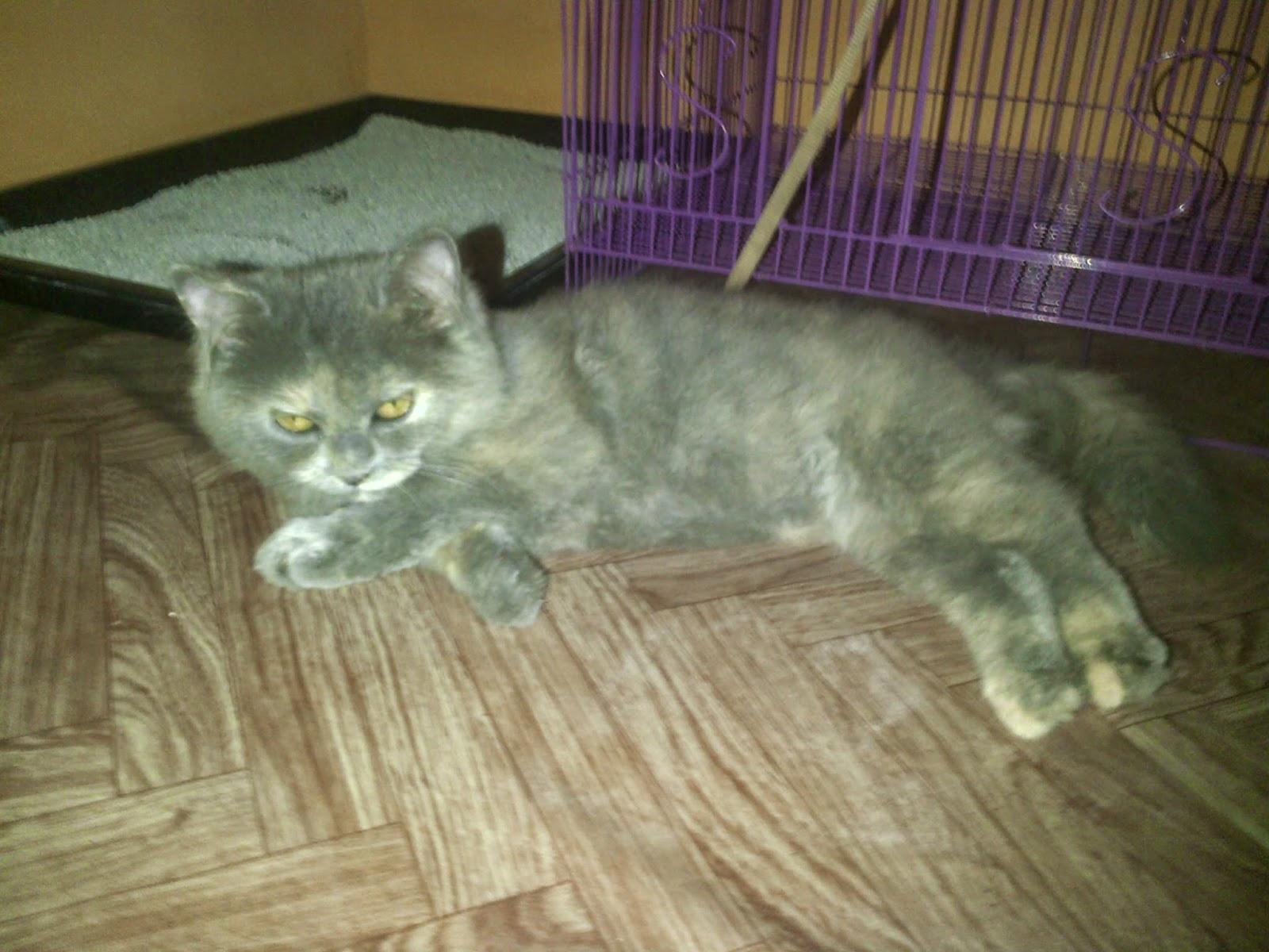 Perawatan Kucing Persia Medium Jual Beli Kucing Dan