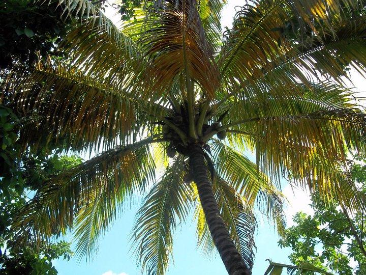 Puerto Rico Coconut Tree