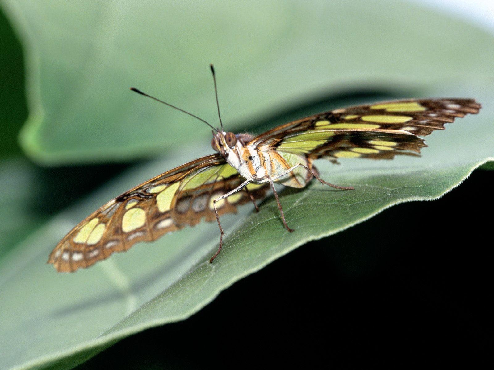 Butterfly Wallpapers, gambar kupu-kupu