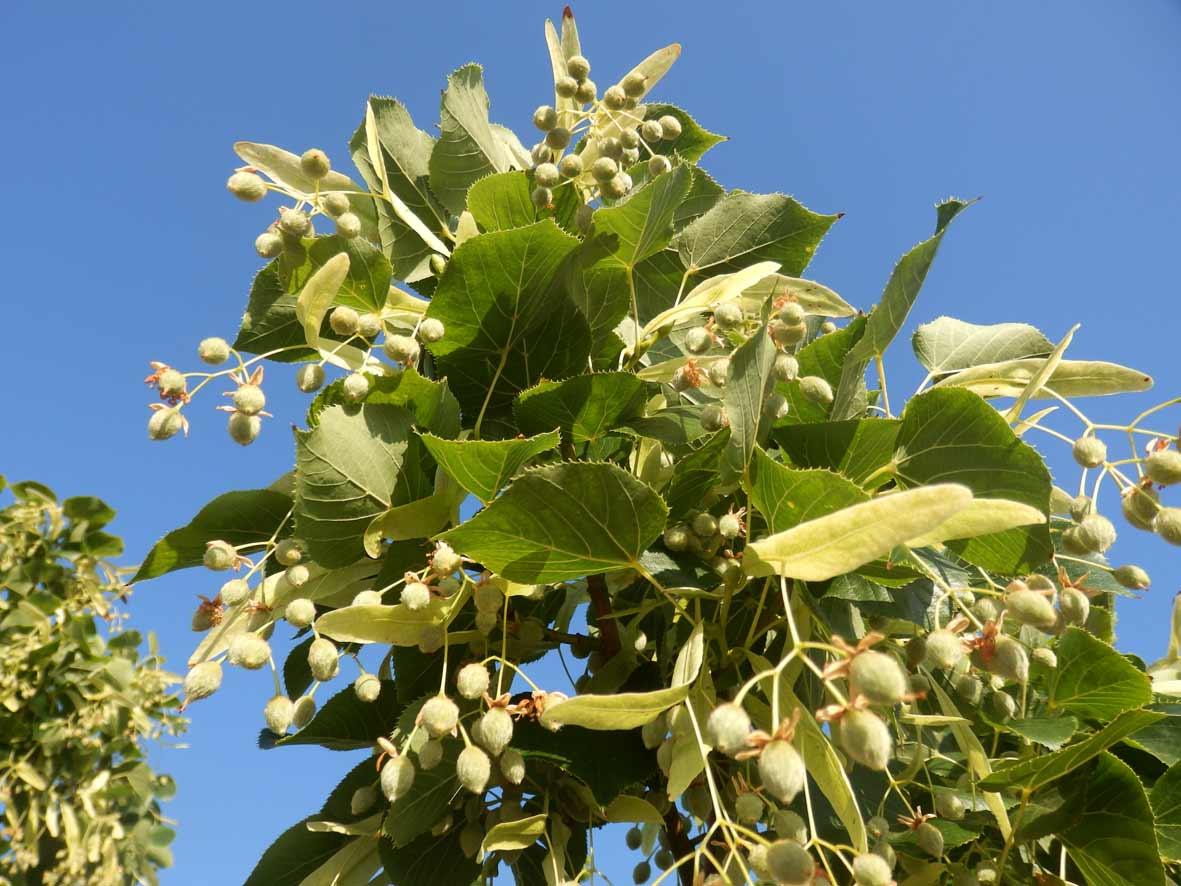 Til·ler (Tilia platyphyllos)