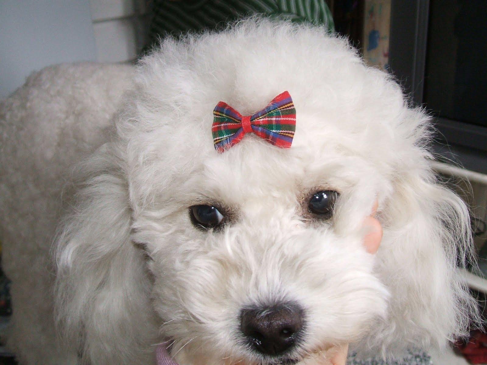Los Ojos En El Caniche Poodle Expresan Su Inteligencia Y Su Dulzura