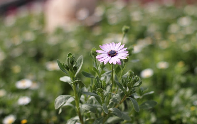 African Daisy Flowers Pictures