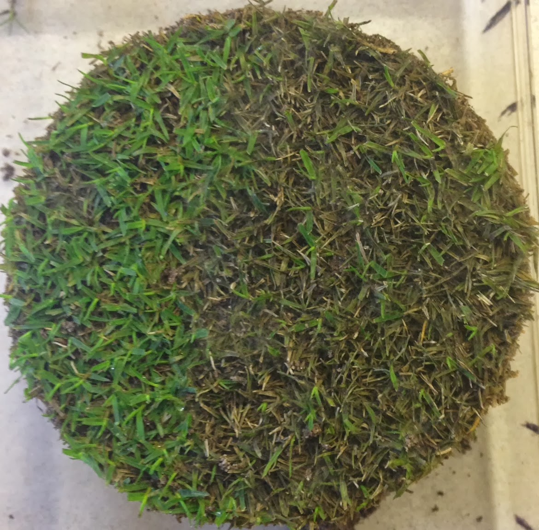 Ultradwarf Bermudagrass Devastated by Pythium Blight (note mycelium on leading edge)