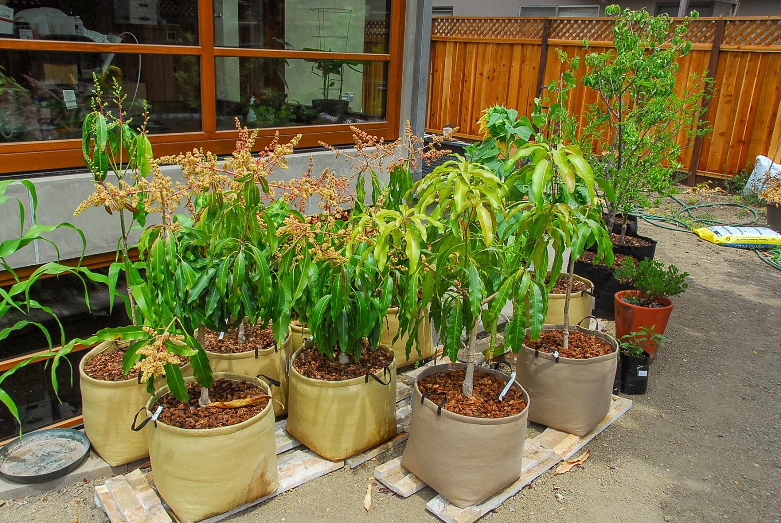 Mango69 Mangoes In Backyard Update