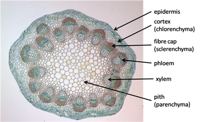 PhillipsBiology: Microscope Lab - Vascular plants