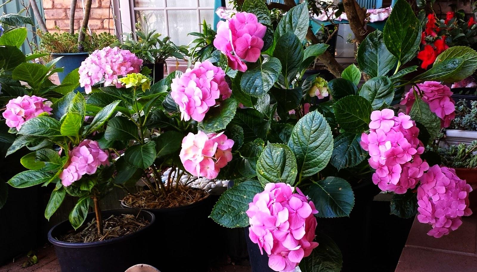 How to grow hydrangeas - Care potted hydrangea ...