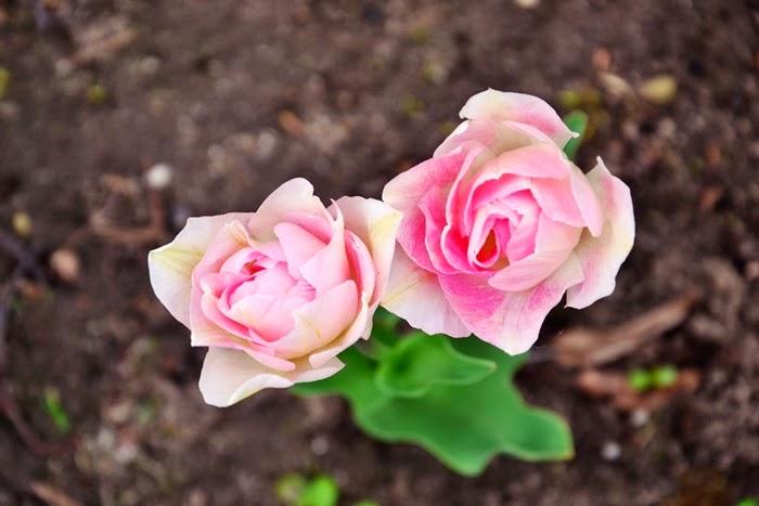 róże kwiaty fotografia nikon wiosna
