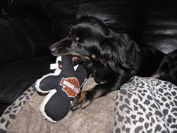 Jet Readies for Sunday Football With a Gnaw on Her New Harley Toy