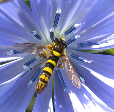 Hoverfly on Chicory Flower