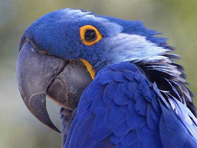 close up of a blue parrot